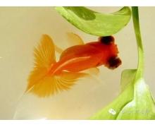 蚂蚁庄园小课堂9月12日答案:金鱼的记忆真的只
