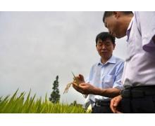 零的突破:我国成功培育早粳水稻新品种「中科