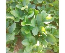 奶油草莓的得名是因为该品种的草莓 蚂蚁庄园今